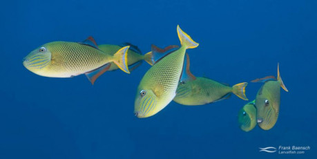 Adult crosshatch triggerfish.