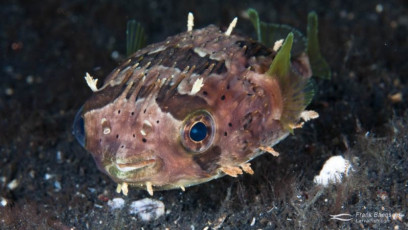 Adult spiny porcupinefish (Diodon holocanthus) on a reef in Indonesia.
