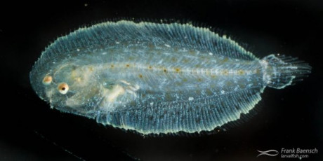 Cultured sole larva.