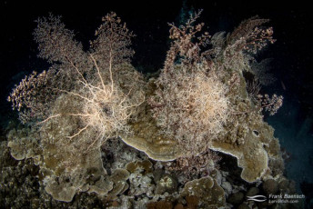 Two giant basket stars (Astrophyton muricatum) at night. Indonesia.