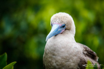 Blue-footed booby. Galapagos Islands.