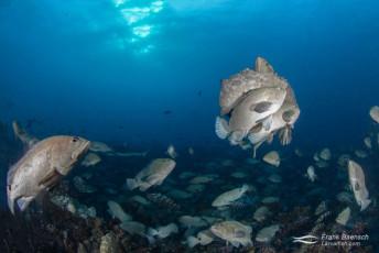 Camouflage groupers (Epinephelus polyphekadion) reproduce in Fakarava South Pass (Tetamanu Pass), French Polynesia.
