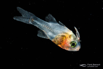 Cardinalfish larva with parasitic isopod -16.4 mm TL. It's amazing how early isopods parasitize young fish. Papua New Guinea.
