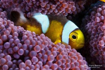 Juvenile saddleback anemonefish (Amphiprion polymnus). Papua New Guinea.