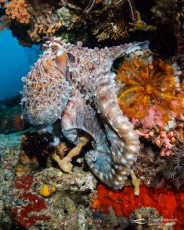 Common octopus (Octopus vulgaris) out and about on a colorful reef. Indonesia.