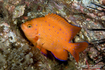 Juvenile Garibaldi (Hypsypops rubicundus). California.