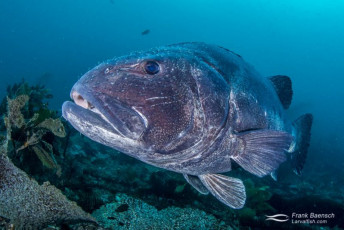 Giant Sea Bass (Sterolepis gigas). Note the large numbers of parasitic copepods attached to the head. California.