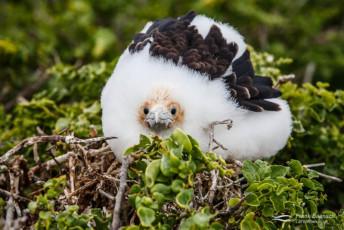 Great Frigatebird (Fregata minor) chick. Galapagos Islands.