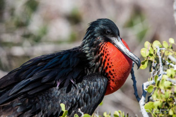 Great Frigatebird (Fregata minor). Galapagos Islands.