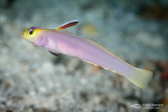 Helfrich's dartfish (Nemateleotris helfrichi). Palau.