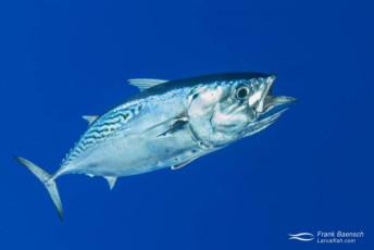 Mackerel tuna (Euthynnus affinis) also known as Kawakawa in Hawaii. Hawaii.