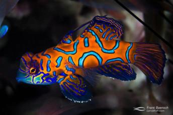 Mandarinfish (Synchiropus splendidus) in Tonga. Orange color variantion. Tonga.
