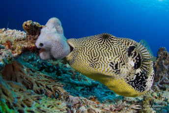 Map puffer (Arothron mappa) takes a bite out of a sponge. Indonesia.