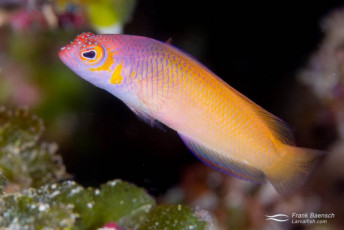 Oblique-lined dottyback (Cypho purpurascens) color morph. The body color of this species is usally more reddish-pink. Solomon Islands.