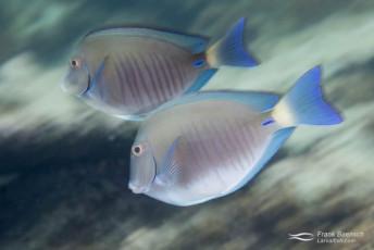 Ocean surgeonfish (Acanthurus bahianus). Bahamas.
