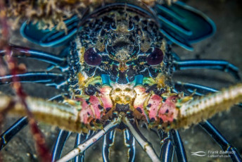 Head on shot of painted spiny lobster (P. versicolor). Fiji.