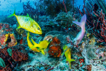 Orangespotted trevally (Jackfish) (Carangoides bajad) hunting with a pack of yellowsaddle goatfish (Parapeneus cyclostomus) on a coral reef in Raja Ampat, Indonesia.