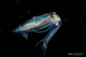 A reef squid on a bonfire dive in the Solomon Islands.