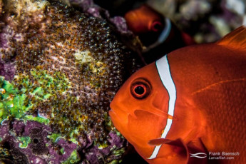 A spinecheek anemonefish female (Premnas biaculeatus) fanning its eggs as the male looks on in the background. Solomon Islands.