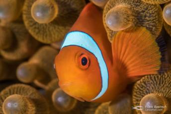 Male spinecheek anemonefish (Premnas biaculeatus). Papua New Guinea.