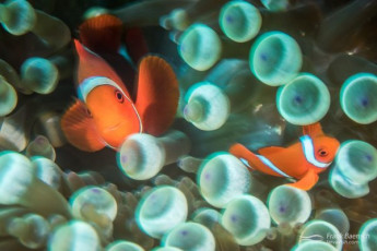 Spinecheek anemonefish  (Premnas biaculeatus) motion blur. Solomon Islands.