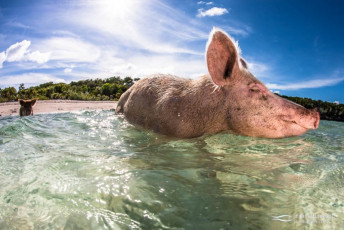 Pigs wade out from a beach in the Bahamas.