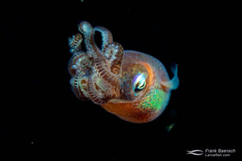 A Hawaiian bobtail squid (Euprymna scolopes) on a blackwater dive off Oahu.
