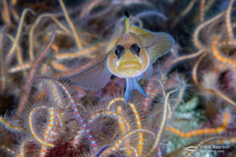 Blackeye goby among spiny brittle stars