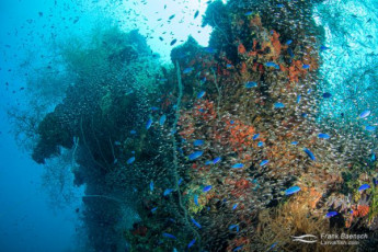 Schools of blue damsels (Pomacentrus pavo) and slender cardinalfish (Rhabdamia gracilis) cover the wrecks of Truck Lagoon.