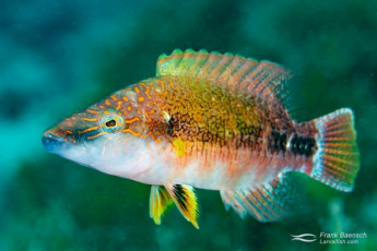A gorgeous Celebes wrasse (Oxycheilinus celebicus) - common on the wrecks of Truk Lagoon