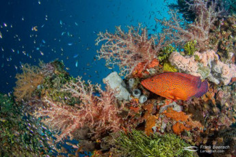 A coral grouper swims past colorful soft corals and sponges on a wreck mast in Truk Lagoon.