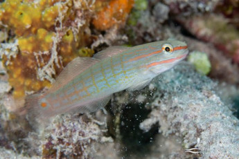 Crosshatch gobies (Amblygobius decussatus) were very common on sandy substrates on or around the wrecks of Truk Lagoon.