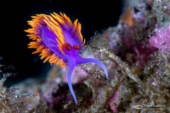 Flabellina iodinea - a common nudibranch in the Channel Islands.