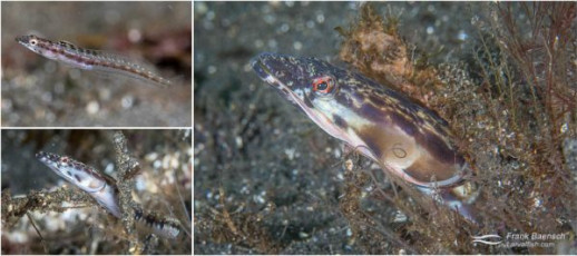 Juvenile, female and male  orangethroat pikeblenny (Chaenopsis alepidota) off Anacapa Island, California. Males are colorful and can puff up their throat in a spectacular display.