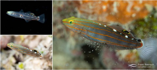 Rainford's goby (Amblygobius rainfordi) larva, juvenile and adult in Truk Lagoon.