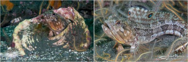 Sarcastic fringeheads (Neoclinus blachardi) can often be found in old, abandoned turban shells with just their heads sticking out.