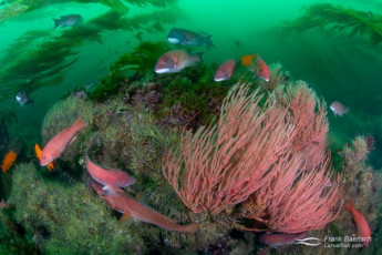 Male and female sheephead surround a gorgonian on a deep kelp reef covered in brittle stars.  Male sheephead are larger than females, with black head and tail and red mid section, red eyes, and fleshy forehead bumps. Female sheephead are dull pink with white undersides.