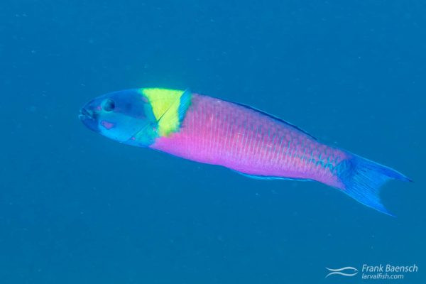 A male cortez wrasse (Thalassoma lucasanum) racing through the water column. Los islotes, Mexico.