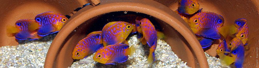 Captive-Bred Japanese Pygmy Angelfish (Centropyge interruptus)