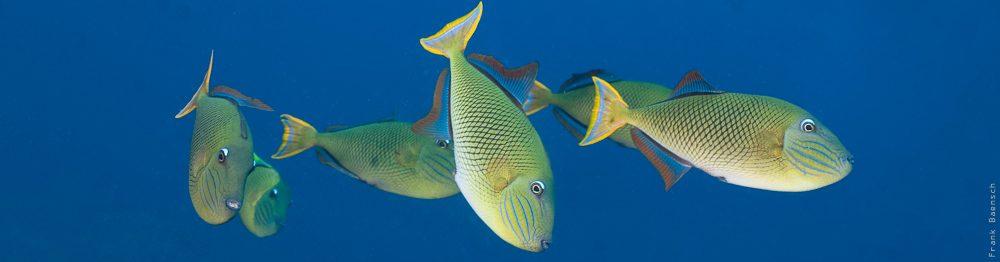 Crosshatch Triggerfish (Xanthichthys mento) at Socorro Island