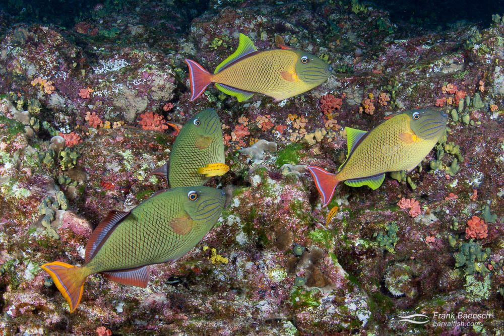 Crosshatch triggerfish (X. mento) prefer cooler water between 65 and 74F. In warmer waters of the main Hawaiian Islands they are rare and mostly found singly or in pairs at depths exceeding 200 feet. In cooler waters of the Revillagigedo Islands they are common in shallow waters and form groups of multiple males and females (pictured).