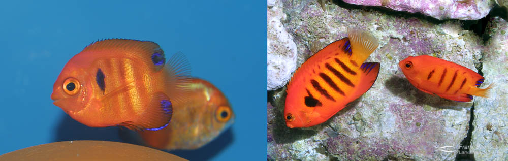 Left: A pair of Flame Angelfish (male on right). Right: A 90-day-old Flame Angelfish juvenile.