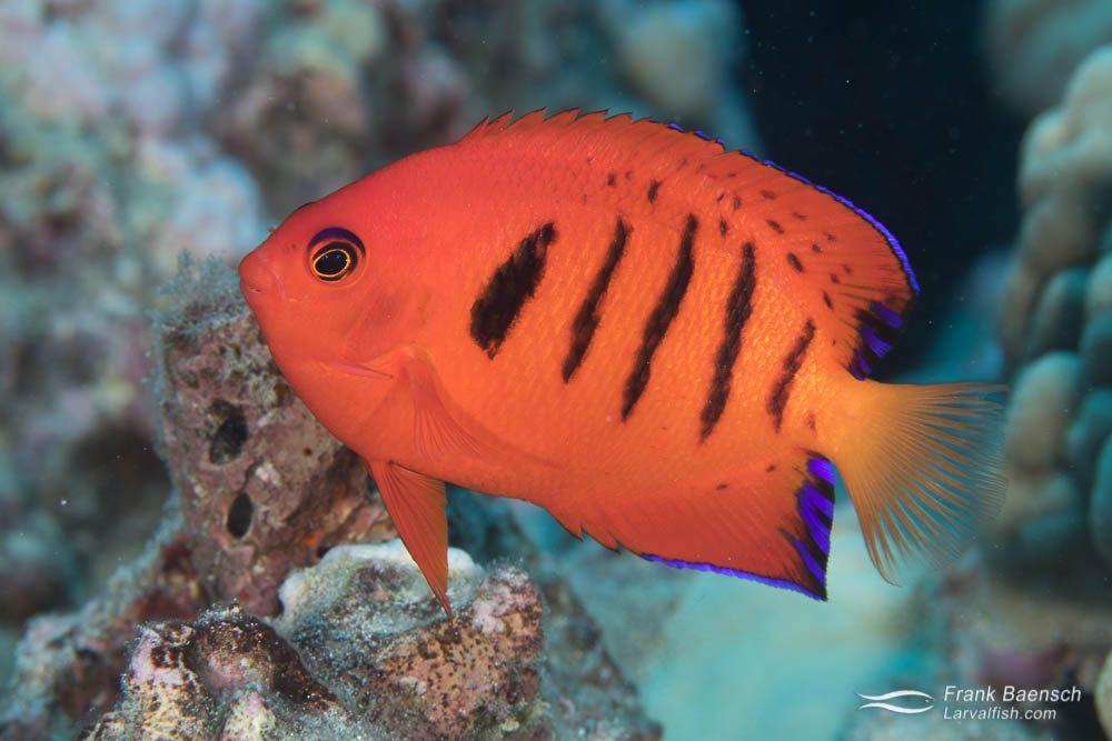 A rare look at a Hawaiian flame angelfish (Centropyge loricula) off Oahu.