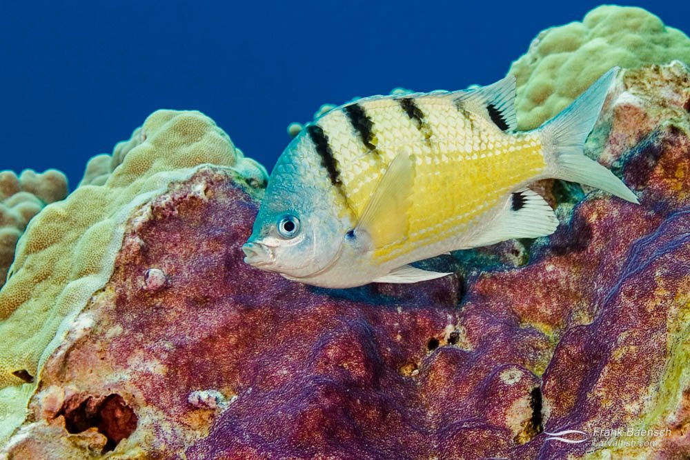 Hawaiian sergeant (Abudefduf abdominalis) damselfish protecting its nest.
