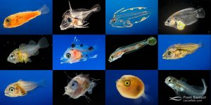 Larval Fish Project