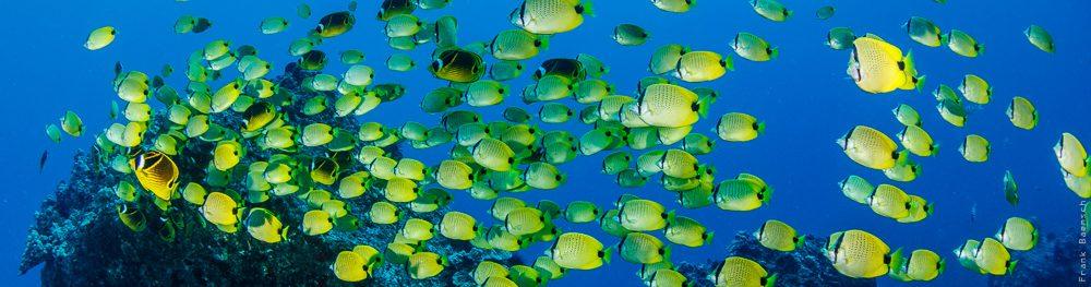 Schooling milletseed butterflyfish (Chaetodon miliaris) on a reef off Oahu, Hawaii.
