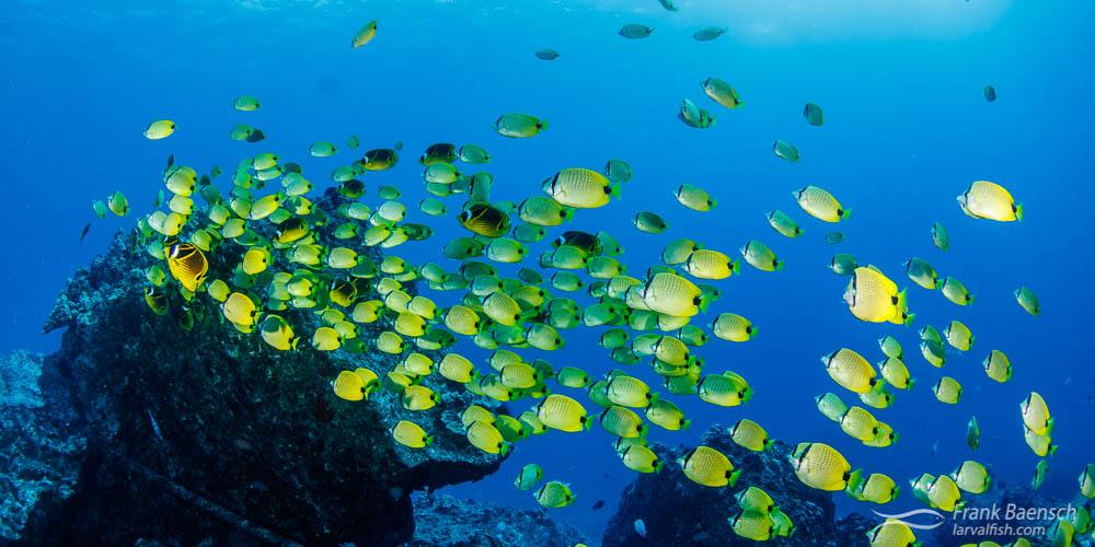 Bony Fishes: Osteichthyes, Butterflyfishes: Chaetodontidae, Fishes