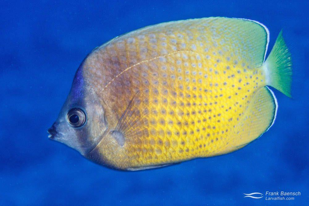 Adult sunburst butterflyfish (Chaetodon kleinii) in Hawaii.