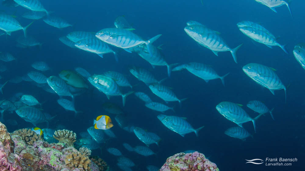 School of Blue Trevally (Carangoides ferdau) on a reef in PNG.