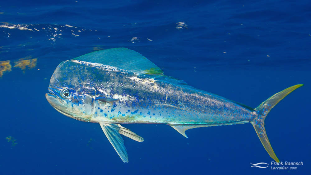 Adult Mahimahi (Coryphaena hippurus) in the Bahamas.